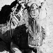 saddled dromedary camel sitting on the sand in the sahara desert at Douz Tunisia Art Print