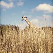 Safari Giraffe  Art Print