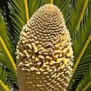 Sago Palm Seed Pod Art Print