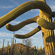 Saguaro Cacti Saguaro Np Arizona Art Print