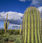 Saguaro Cactus Arizona Art Print