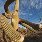Saguaro Cactus Saguaro Np Arizona Art Print
