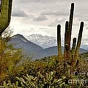 Saguaro Sentinels Art Print
