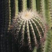 Saguaro With New Arm Art Print