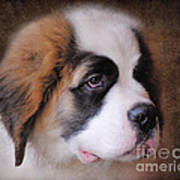 Saint Bernard Puppy Art Print by Jai Johnson