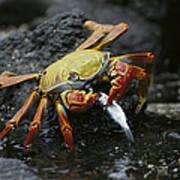 Sally Lightfoot Crab Feeing Galapagos Art Print