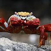 Sally Lightfoot Crab Galapagos Art Print