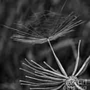 Salsify - Wildflower - Seed Art Print