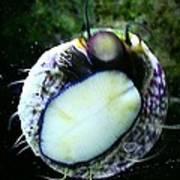 Saltwater Bearded Snail Art Print