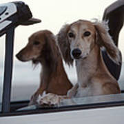 Saluki Dogs In Car Art Print