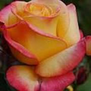 San Francisco Rose Garden Rose Art Print