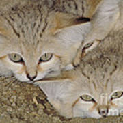 Sand Cat Felis Margarita Art Print