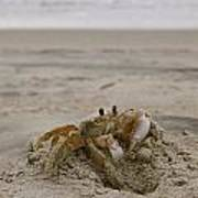 Sand Crab Art Print by Nelson Watkins