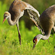 Sandhill Crane Chick Stretching Art Print