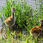Sandhill Crane Chicks  Art Print