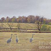 Sandhill Cranes Feeding In Field  Art Print by Jymme Golden