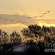 Sandhill Cranes Flying At Sunset Art Print