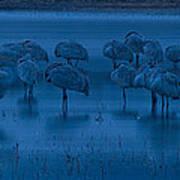 Sandhill Cranes In The Dark Bosque Del Apache Wildlife Refuge  Art Print