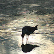 Sandpiper Reflection Art Print