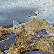 Sandpipers On Coral Beach Art Print