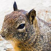 Sandy Nose Squirrel Art Print