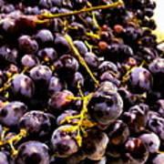 Sangiovese Grapes Art Print