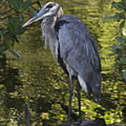 Sanibel Great Blue Heron Art Print