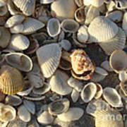 Sanibel Island Shells 3 Art Print