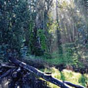 Santa Barbara Eucalyptus Forest II Art Print