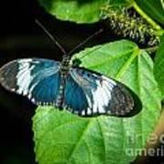 Sapho Longwing Butterfly Art Print