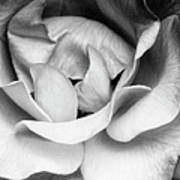 Sapphire Rose Bw Palm Springs Art Print