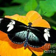 Sara Longwing Butterfly Art Print