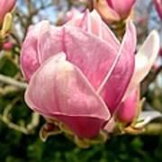 Saucer Magnolia Bloom Art Print
