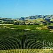 Sauvignon Blanc Vines Art Print