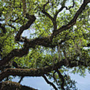 Savannah Live Oak And Spanish Moss Art Print