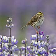 Savannah Sparrow And Nootka Lupine Art Print