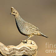 Scaled Quail Callipepla Squamata Art Print