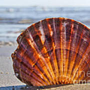 Scallop Shell 2 Art Print