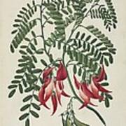 Scarlet Clianthus (clianthus Puniceus) Print by Science Photo Library