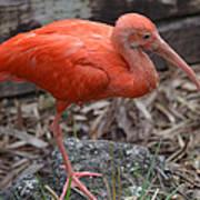 Scarlet Ibis One Legged Pose Art Print