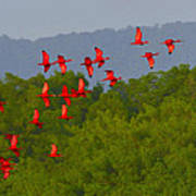 Scarlet Ibis Art Print by Tony Beck