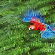 Scarlet Macaw Juvenile In Flight Art Print