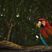 Scarlet Macaw Profile Art Print