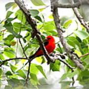 Scarlet Tanager - 11 Art Print