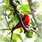 Scarlet Tanager - 19 Art Print