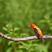 Scarlet Tanager On Snag Art Print
