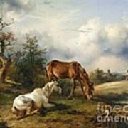 Schimmel Auf Fuchs Auf Der Weide Art Print