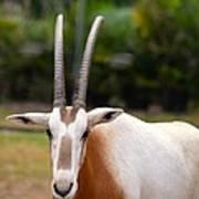 Scimitar Horned Oryx 2 Art Print