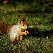 Sciurus Vulgaris In Evening Light Art Print