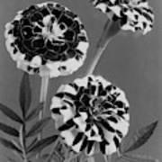 Scotch-stripe Marigolds Art Print
